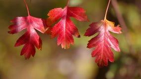 Tres Autumn Red Leaf metrajes