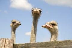 Tres avestruces Fotografía de archivo