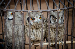 Tres búhos lindos con los ojos anaranjados fuertes que se sientan en la jaula del metall que se venderá en el mercado del fetiche imagen de archivo