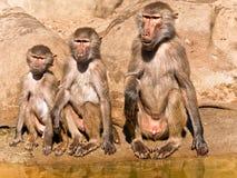 Tres babuinos de diversas edades. Imagen de archivo