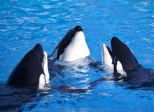Tres ballenas de asesino de la orca Imágenes de archivo libres de regalías