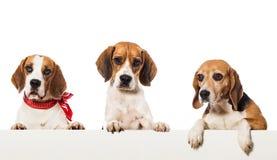 Tres beagles Fotos de archivo