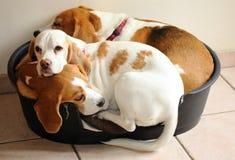 Tres beagles en una cesta Imagenes de archivo