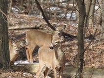 Tres Blanco-ataron los ciervos que miraban a escondidas con curiosidad en una área arbolada Imagen de archivo libre de regalías
