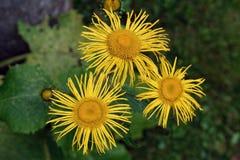 Tres blosoms amarillos fotografía de archivo