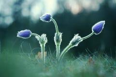 Tres brotes de Pasque Wild Flower Imagen de archivo libre de regalías