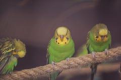 Tres Budgies Foto de archivo libre de regalías