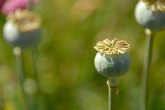 Tres bulbos de planta de la amapola imagen de archivo libre de regalías