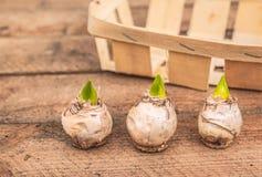 Tres bulbos del jacinto en un fondo una cesta Fotos de archivo libres de regalías