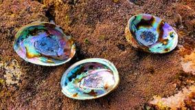 Tres cáscaras de Paua Foto de archivo