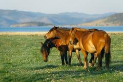 Tres caballos Caballo en la reserva de naturaleza del lago Baikal Imagen de archivo libre de regalías