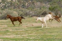 Tres caballos cuartos corrientes en Aguanga, California fotografía de archivo