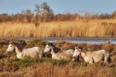Tres caballos de Camargue Foto de archivo libre de regalías