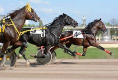 Tres caballos de la raza del trotón en el movimiento Fotografía de archivo