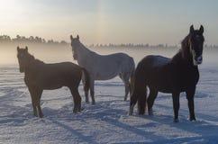 Tres caballos en la niebla del invierno Un día septentrional corto foto de archivo libre de regalías