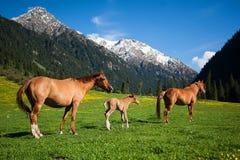 Tres caballos en un campo de la montaña imagen de archivo libre de regalías