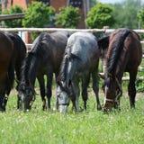 Tres caballos jovenes comen en un pasto Foto de archivo libre de regalías