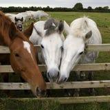 Tres caballos junto Fotografía de archivo