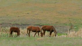 Tres caballos marrones comen la hierba en el campo almacen de video