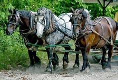 Tres caballos pesados Imágenes de archivo libres de regalías