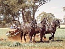 Tres caballos pesados que rastrillan el heno imagenes de archivo