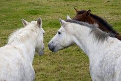 Tres caballos que hablan junto Foto de archivo libre de regalías