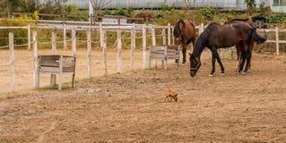 Tres caballos que llevan frenos y una pequeña chihuahua fotos de archivo libres de regalías