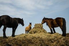 Tres caballos que pastan Imagenes de archivo