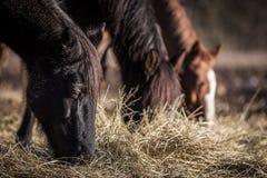 Tres caballos que pastan en el heno foto de archivo libre de regalías