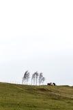 Tres caballos que se colocan en la colina al lado de árboles de abedul en ventoso frío Fotos de archivo