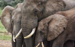 Tres cabezas de los elefantes cierran juntas el tacto imagenes de archivo