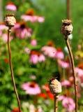 Tres cabezas marrones de la amapola fotografía de archivo