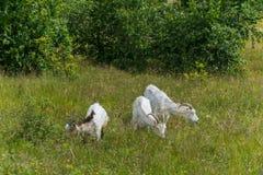 Tres cabras de cuernos se pastan en el prado cerca de los abedules verdes jovenes imagen de archivo libre de regalías