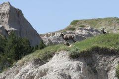 Tres cabras de montaña Imágenes de archivo libres de regalías
