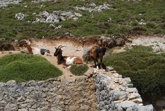 Tres cabras de monta?a foto de archivo