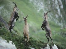 Tres cabras monteses alpinos que se alzan Imagenes de archivo