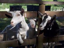 Tres cabras que miran a través de la cerca Foto de archivo libre de regalías
