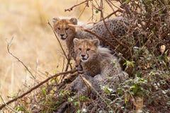 Tres cachorros del guepardo en un arbusto Foto de archivo
