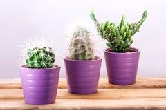 Tres cactus en fila Fotos de archivo libres de regalías
