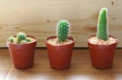 Tres cactus en una maceta, fondo de madera Imagen de archivo libre de regalías