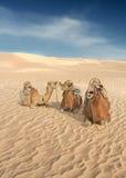 Tres camellos en el Sáhara Imagen de archivo