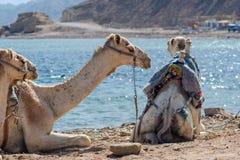 Tres camellos en la costa del mar en el agujero azul Sinaí del sur de Egipto Dahab fotografía de archivo