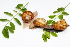 Tres caracoles y hojas del verde en un fondo blanco Foto de archivo libre de regalías