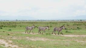 Tres cebras caminan a lo largo del camino entre la hierba verde de la sabana almacen de video