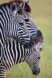 Tres cebras en sabana Imagen de archivo libre de regalías