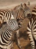 Tres cebras se cierran juntas Foto de archivo