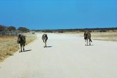 Tres cebras, un camino Fotos de archivo