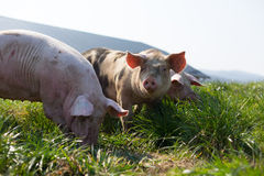 Tres cerdos en hierba Imagen de archivo libre de regalías