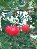 Tres cerezas rojas brillantes fotografía de archivo libre de regalías