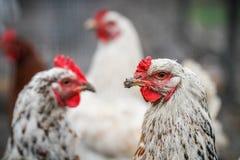 Tres chichens blancos en una granja Imágenes de archivo libres de regalías